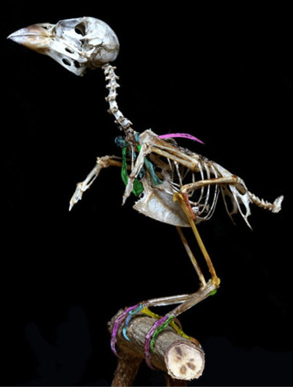 Figure 1. Skeleton of the common house sparrow, Passer domestics.