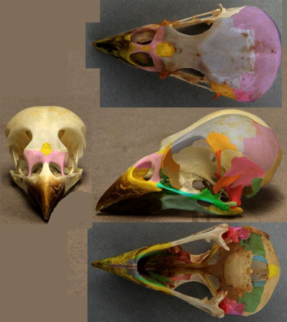 Figure 2. Skull of Passer domestics in four views.