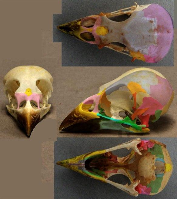 Figure 2. Skull of Passer domestics in four views.