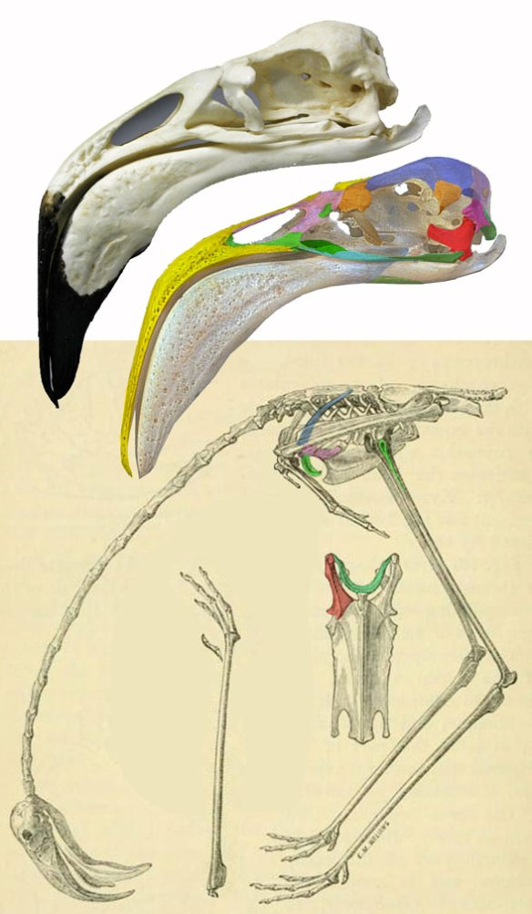 Figure 1. Phoenicopterus, the flamingo is closest to Cariama, the seriema, (Fig. 2) in the LRT.
