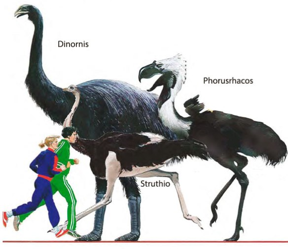 Figure 1. Phorusrhacos to scale with Dinornis, Struthio and Homo.