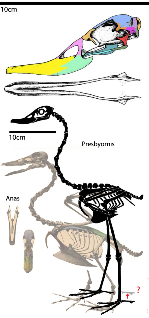 Figure 4. Presbyornis is the prehistoric long-legged duck, close to the elephant bird, Aepyornis.