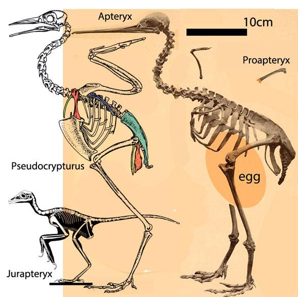 Figure 2. Jurapteryx, Pseudocrypturus, Apteryx and Proapteryx to scale.