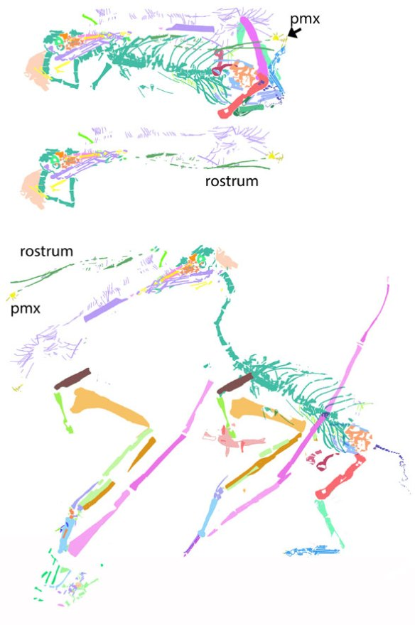 Figure 3. Rough reconstruction using color tracings. Note the elongate jaws and small eye, documenting isometric growth in this pterosaur, as in all others where this can be seen.