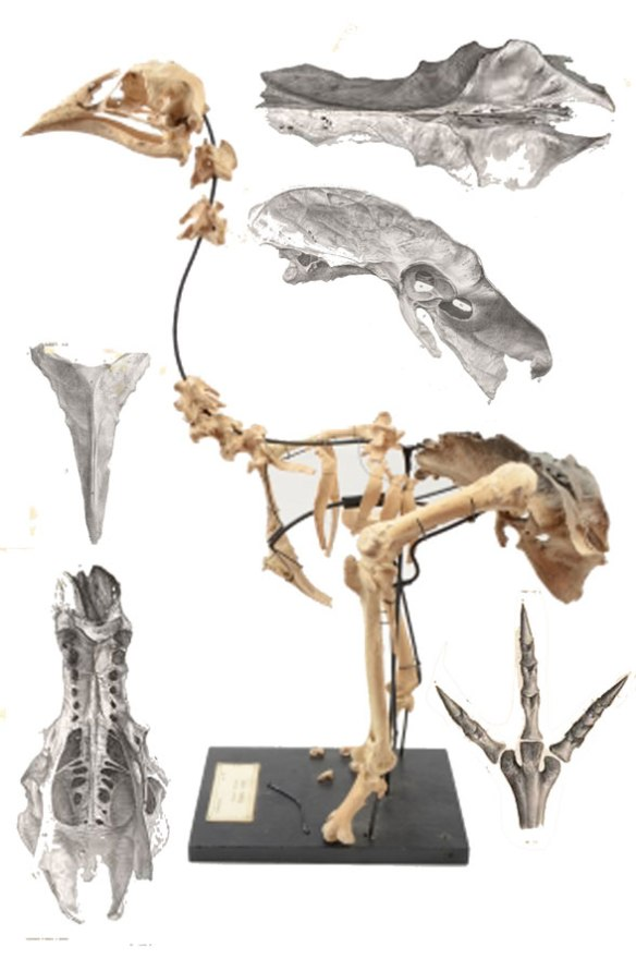FIgure 2. Aptornis skeleton and parts.