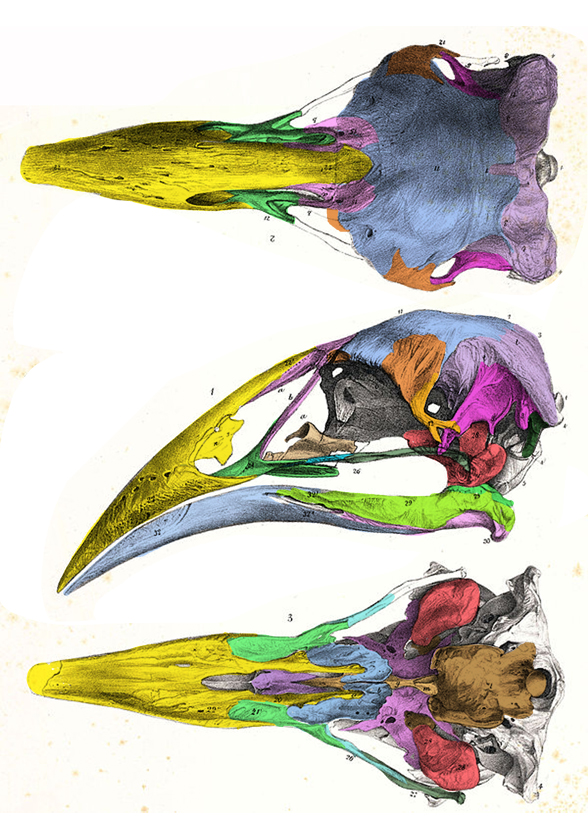 Figure 1. Aptornis skull. Note the sharp downturned beak, concave premaxilla, lack of prefrontal and the upper temporal fenestra confined by the postorbital and squamosal, very rare in birds.