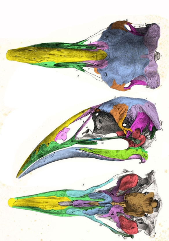 Figure 1. Aptornis skull. Note the sharp downturned beak, concave maxilla, lack of prefrontal and lacrimal, and the upper temporal fenestra confined by the postorbital and squamosal, very rare in birds.