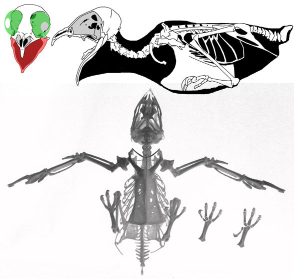 Figure 2. Apus the common swift is actually a close relative of the falcon and owl, not a hummingbird.