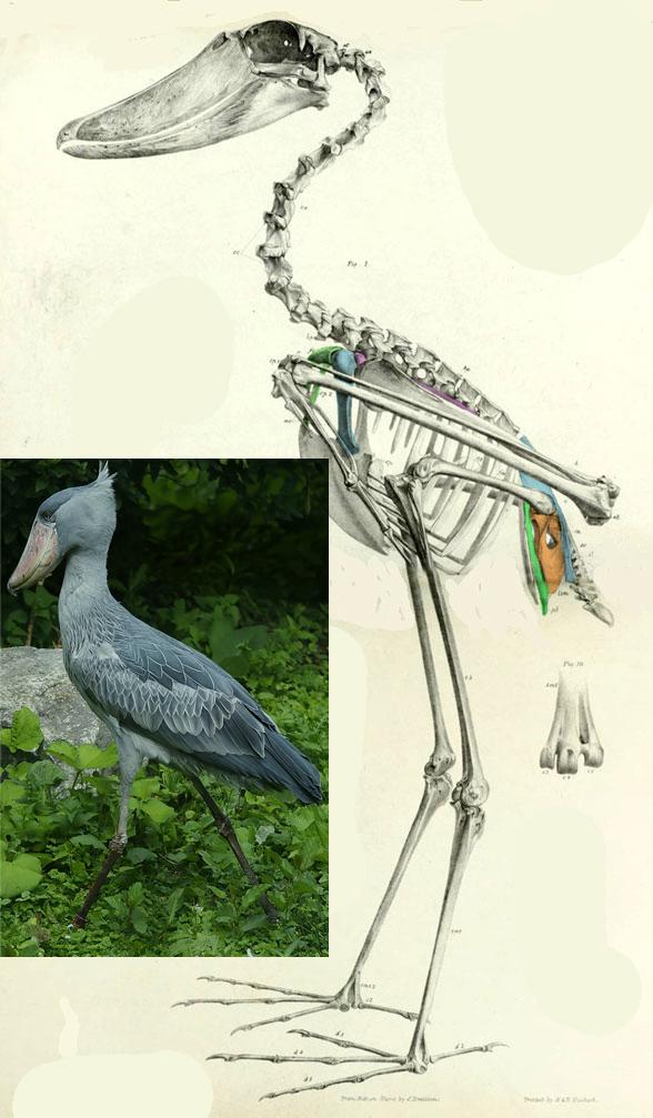 Figure 4. Shoebill stork and skeleton.