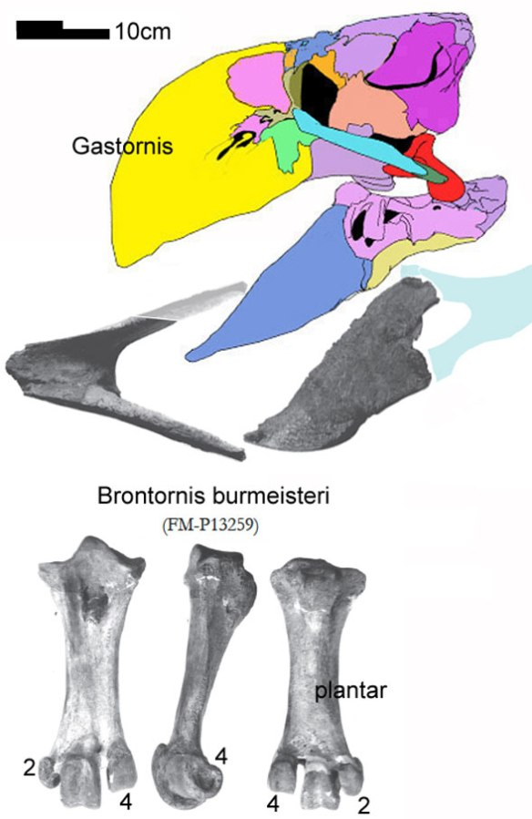 Figure 2. Brontornis parts compared to Gastornis, a close match both in size and morphology.