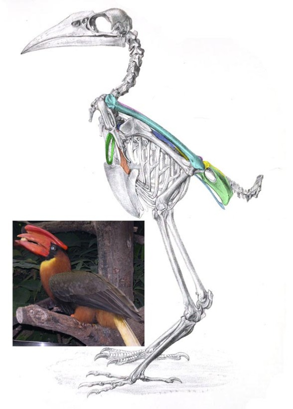 Figure 2. Buceros skeleton and in vivo image.