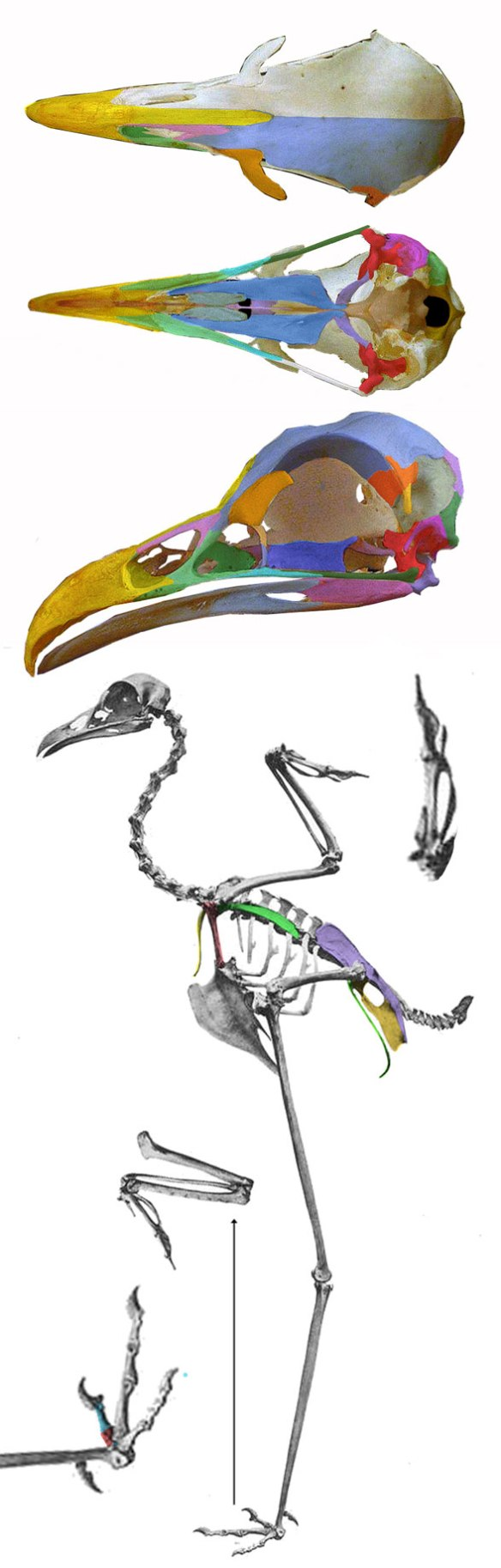 Figure 2. The seriema(genus: Cariama) is the closest taxa to Yanornis in the LRT. The two resemble one another in most details, but Cariama lacks teeth, has a retracted naris and an elevated pedal digit 1.