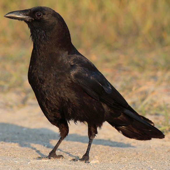 Figure 1. Corvus the crow is basal to a long list of taller and shorter birds.