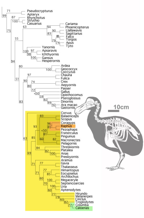Figure 8. Subset of the LRT focusing on birds. Here Raphus, the dodo, nests with the New World vulture, Coragyps (in orange), not the pigeon, Caloenas (in green).