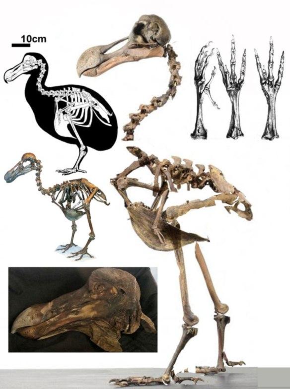 Figure 4. Dodo (Raphus) skeletal data.