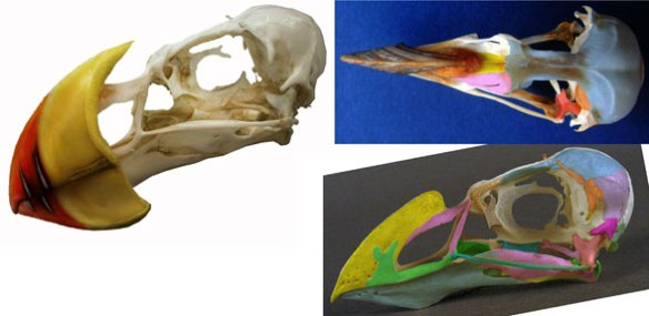 Figure 4. The skull of the puffin (genus: Fratercula) with and without the keratin beak.