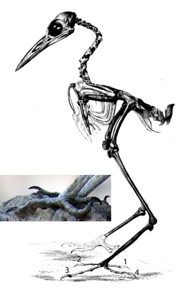Figure 2. Geococcyx the roadrunner skeleton. Note the crane-like proportions of this small land heron.