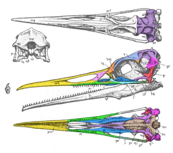 Figure 2. Hesperornis skull. Compare this to that of Pelagornis in figure 1.