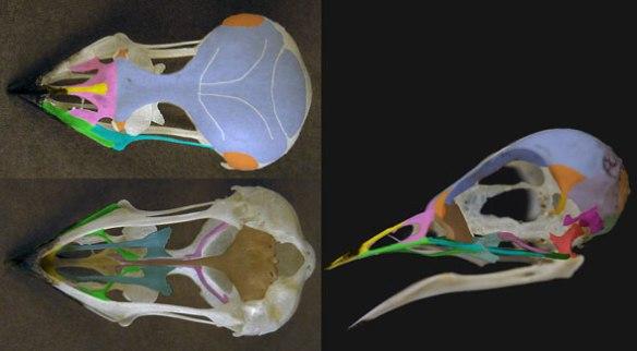 Figure 2. Skull of Hirundo, the barn swallow.