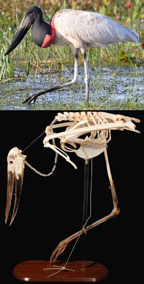 Figure 3. Skeleton and in vivo views of Jabiru.