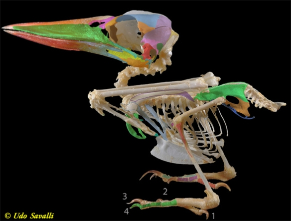 Figure 1. Megaceryle, the belted kingfisher may be a neotonous jabiru (genus: Jabiru).
