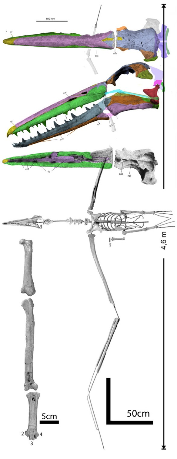 FIgure 1. Pelagornis, new reconstruction of skull along with overall reconstruction from Mayr and Rubilar-Rogers