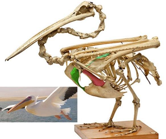 Figure 1. Pelecanus skeleton.