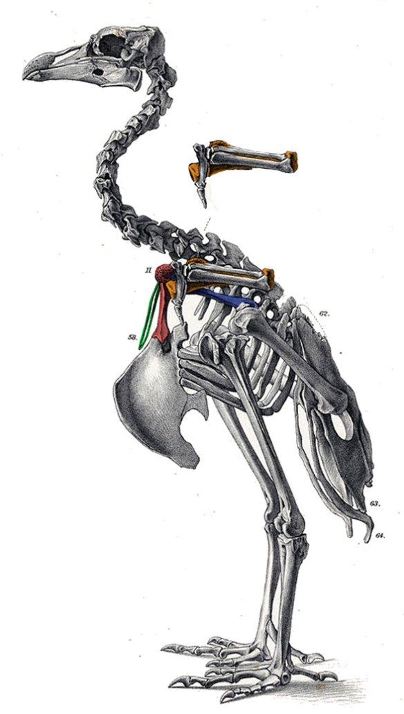 Figure 5. Swan-sized, Pezophaps, the solitaire, is the closest dodo relative. It is likewise closer to New World vultures than to African pigeons.