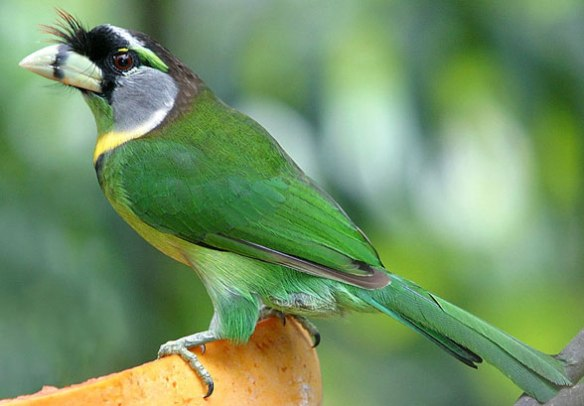 FIgure 5. Psilopogon, is a living barbet from SE Asia.