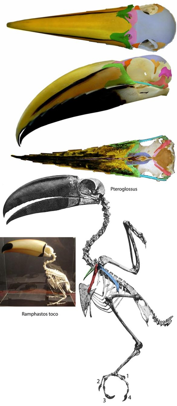 Figure 1. Pteroglossus, the toucan shares many traits and nests with Buceros in the LRT.