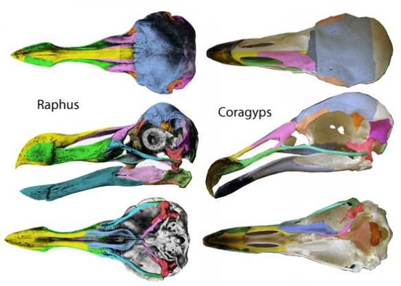 Figure 1. The dodo, Raphus, compared to the New World vulture, Coragyps. These two nest together apart from the pigeons in figure 1.