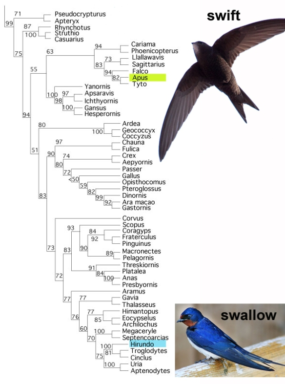 Figure 1. Subset of the LRT focusing on extant birds and their kin. Here swifts (Apus) nest apart from swallows (Hirundo).