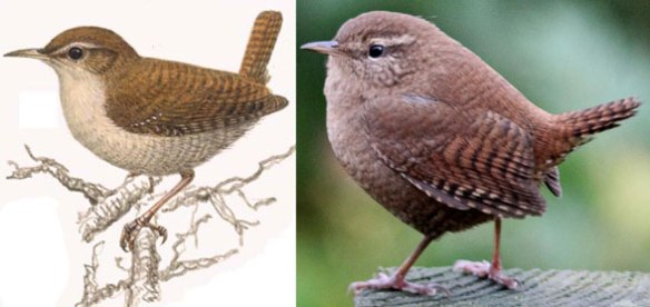 Figure 1. The Eurasian wren, Troglodytes troglodytes, nests with the dipper, Cinclus, close to kingfishers and penguins.