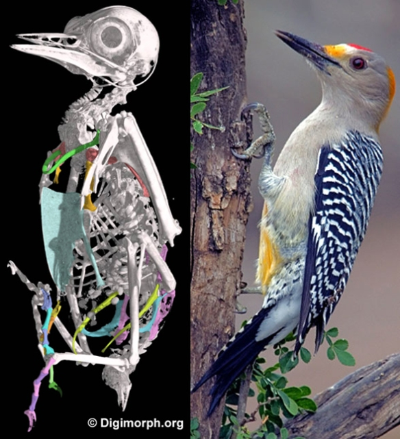 Figure 2. Melanerpes, a woodpecker in the LRT, nests with dippers, swifts and wrens.