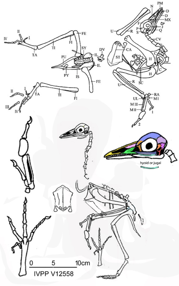 Figure 1. Yanornis (the holotype specimen, not the enantiornithine) was a likely small prey predator based on its descendants (see figures 2-4).