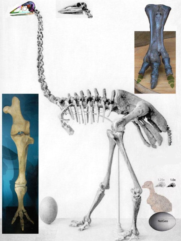 Figure 1. Aepyornis maximus along with eggs, the largest known. The new skull replaces the original one.