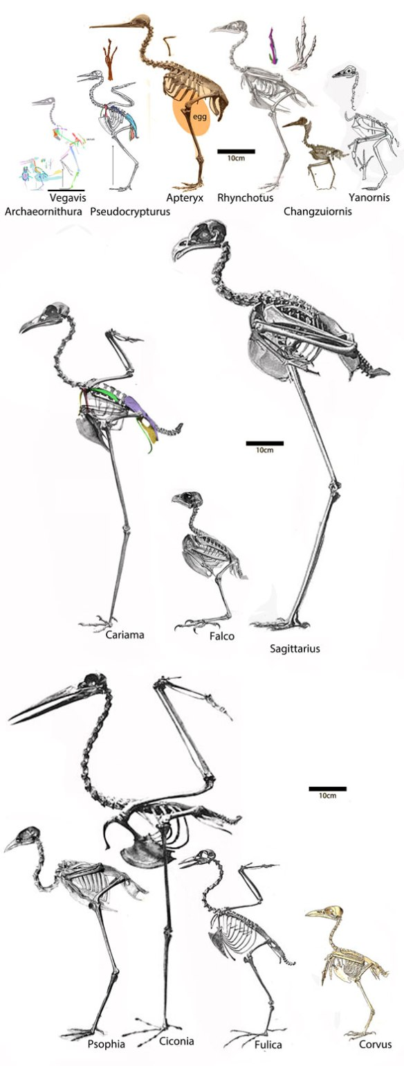 Figure 1. Basal euornithes to scale as recovered by the LRT.