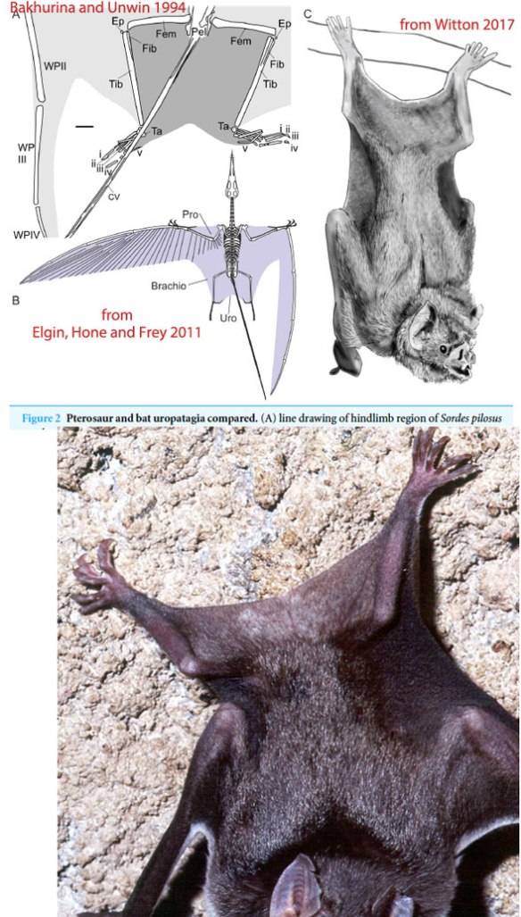 Figure 6. Above, from Witton 2017 focusing on the pterosaur uropatagium. Note: even though fanciful, it does not incorporate the tail, but goes from leg to leg, UNLIKE Desmodus the bat, which incorporates what little tail is left.