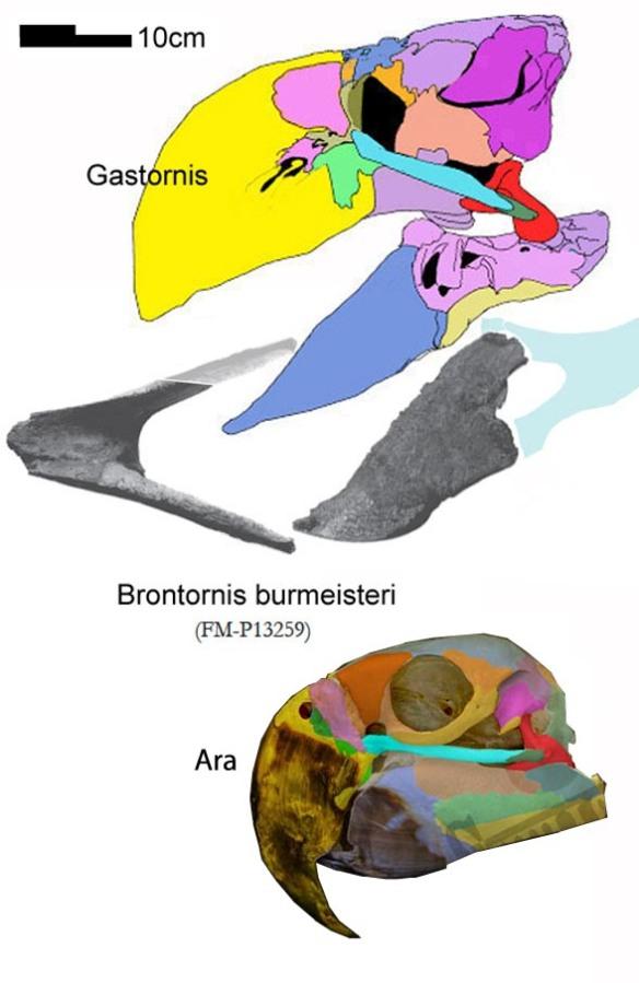 Figure 3. Skulls of Gastornis, Brontornis and Ara, the scarlet macaw.