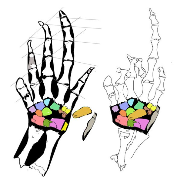 Figure 1. Manus of Casineria, a basal archosauromorph reptile. The carpals are unosssified, but left vague impressions in the matrix. Other bones overlapped the carpals and are removed here.