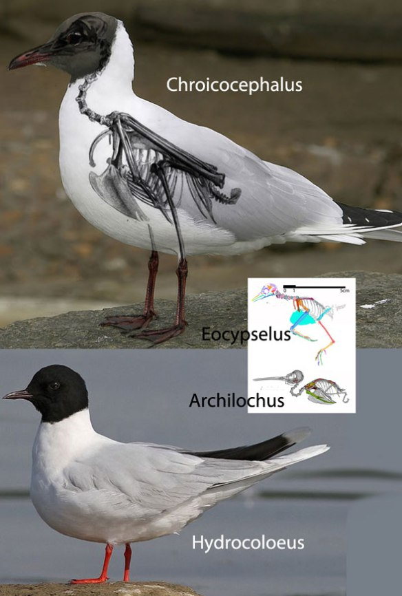 Figure 2. Chroicocephalus, the smaller Hydrocoloeus, the much smaller Eocypselus and the ruby-throated hummingbird, Archilochus to scale.