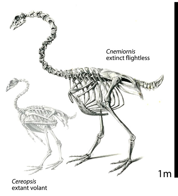 Figure 3. The extinct and flightless Cnemiornis (at right) compared to the extant and volant Cereopsis, the New Zealand goose.
