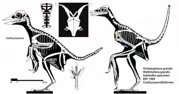 Figure 1. Confuciusornis (early Cretaceous) and Wellnhoferia (Late Jurassic), one of the Solnhofen birds traditionally considered Archaeopteryx.