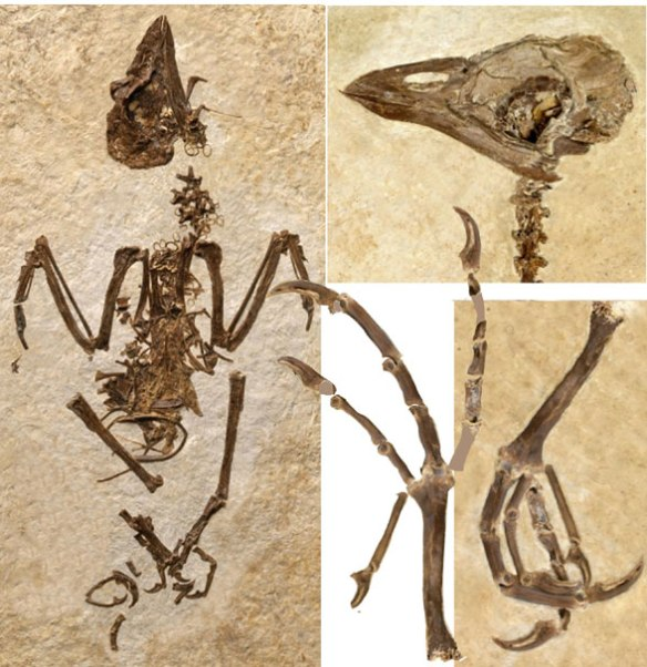 FIgure 1. Skeleton of Cyrilavis in situ. This is not a parrot, but a barbet from the Green River formation.