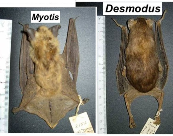 Figure 7. A plesiomorphic bat with the tail incorporated in the uropatagium. This bat, Myotis, cannot walk very well. Desmodus, highly derived, has required the ability to walk, but at the expense of its tail and a vestige uropatagium.