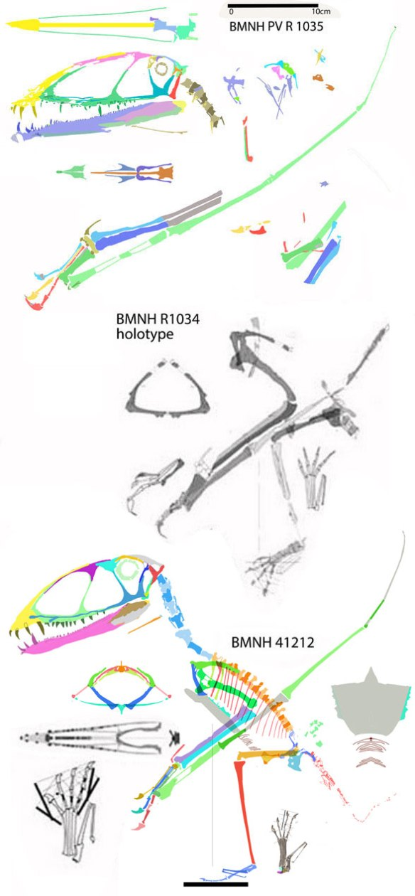 Figure 1. The three Dimorphodon specimens traced from the fossils.