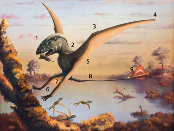 Figure 6. Touted as the contemporary view of Dimorphodon, this Mark Witton illustration suffers from several fancies and inaccuracies.