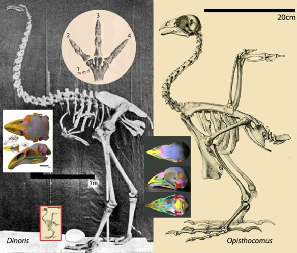 Figure 1. Giant Dinornis compared to chicken-sized Opisthocomus to scale and similar in torso length.