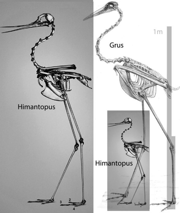 Figure 1. Himantopus the stilt compared and to scale with the larger Grus, the crane.