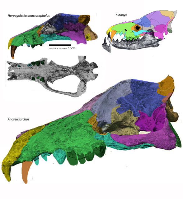 Figure 1. Harpagolestes macrocephalus compared to sisters Sinonyx and Andrewsarchus to scale.